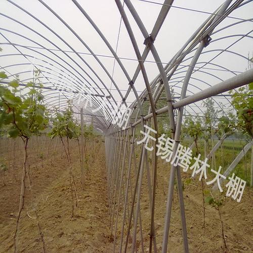 大棚葡萄栽培
