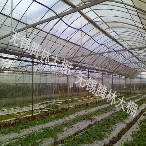 大棚草莓采摘
